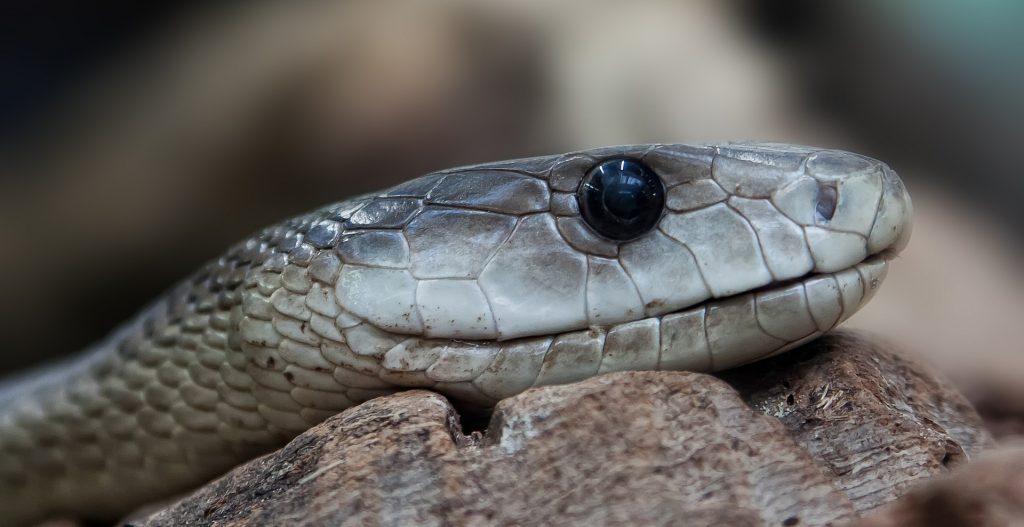 Você sabe por que as cobras trocam de pele?